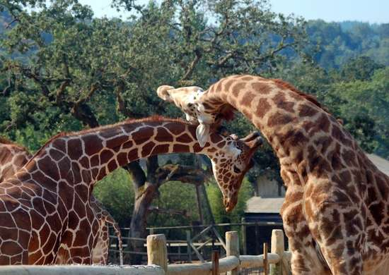 Safari West in Santa Rosa, California