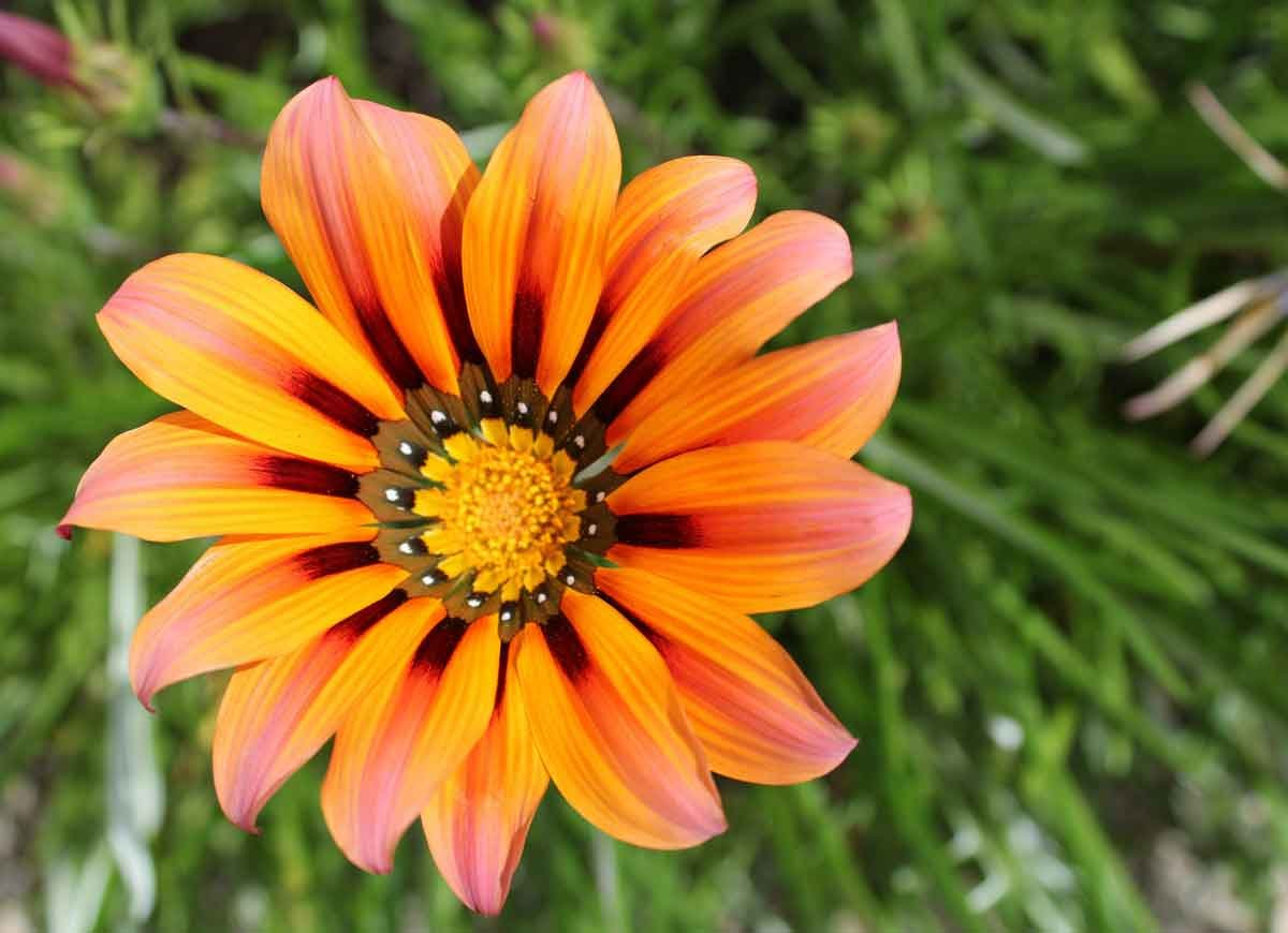 14 long lasting flowers for your yard bob vila gazania opens in the sunshine and closes at nighttime or on cloudy days the daisy like petals come in a riot of bright colors including yellow orange izmirmasajfo