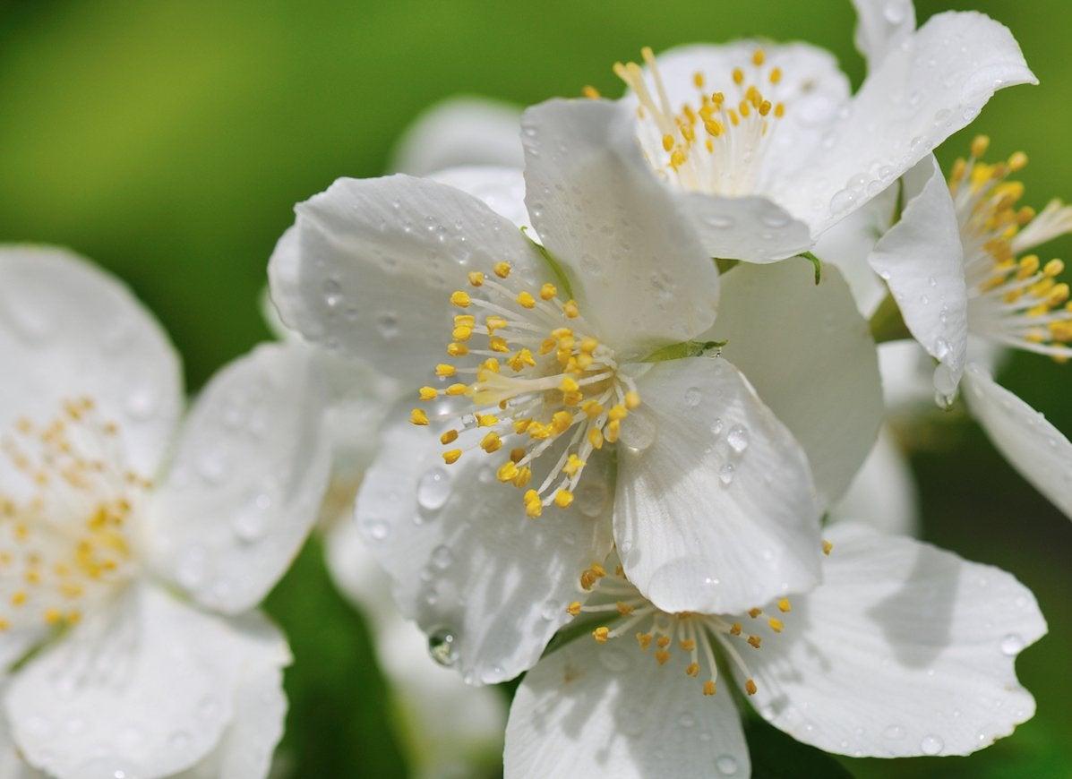 10 Beautiful Night Blooming Flowers Bob Vila