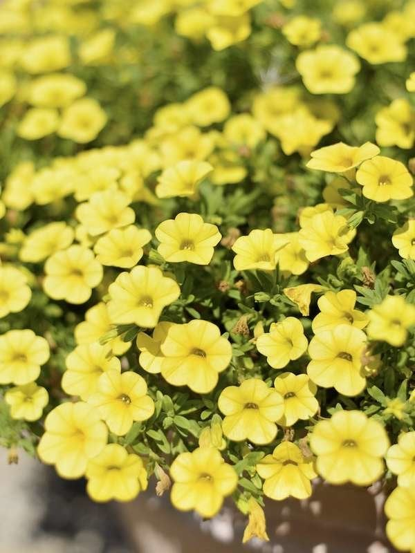 Calibrachoa Hanging Plants