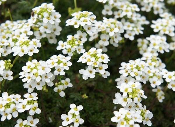 Sweet Alyssum Hanging Basket