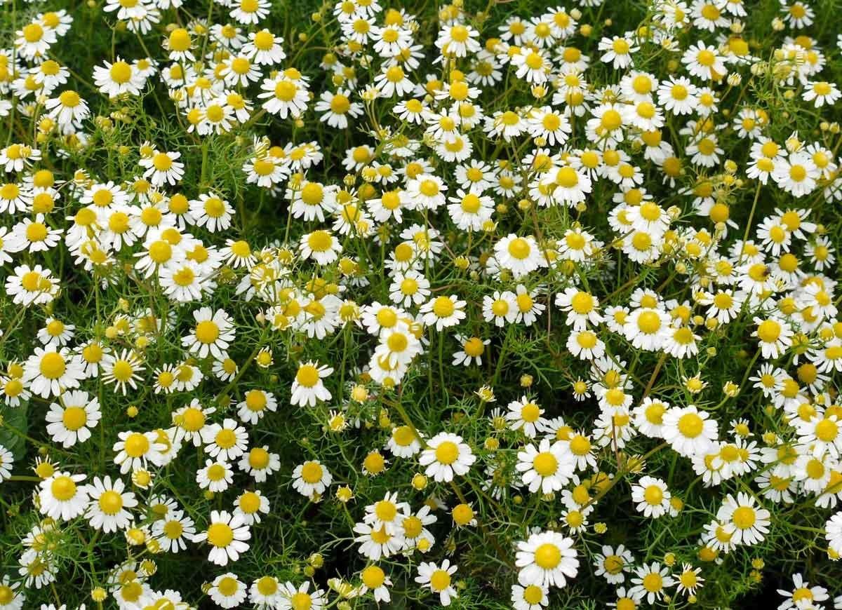 Plant De Menthe En Pot border plants perfect for lining your driveway or walkway
