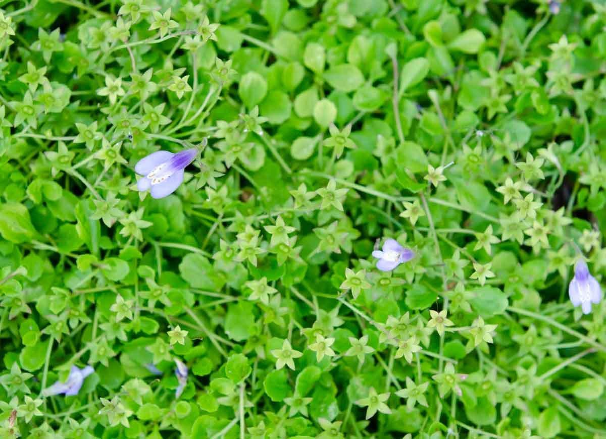 12 perfect plants for lining your pathway bob vila creeping mazus izmirmasajfo