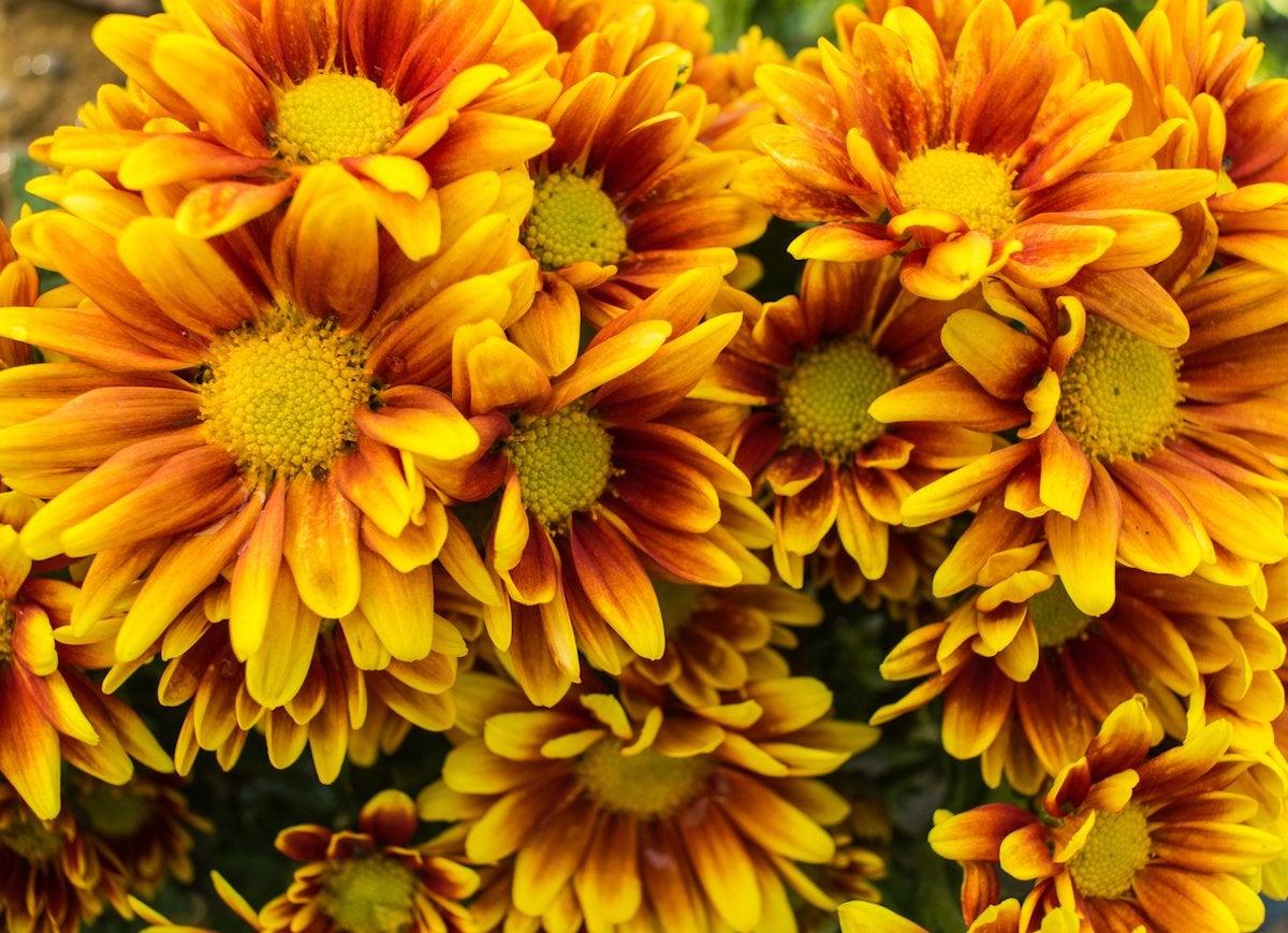 Fall flowers 10 bold and beautiful autumn bloomers bob vila chrysanthemum izmirmasajfo