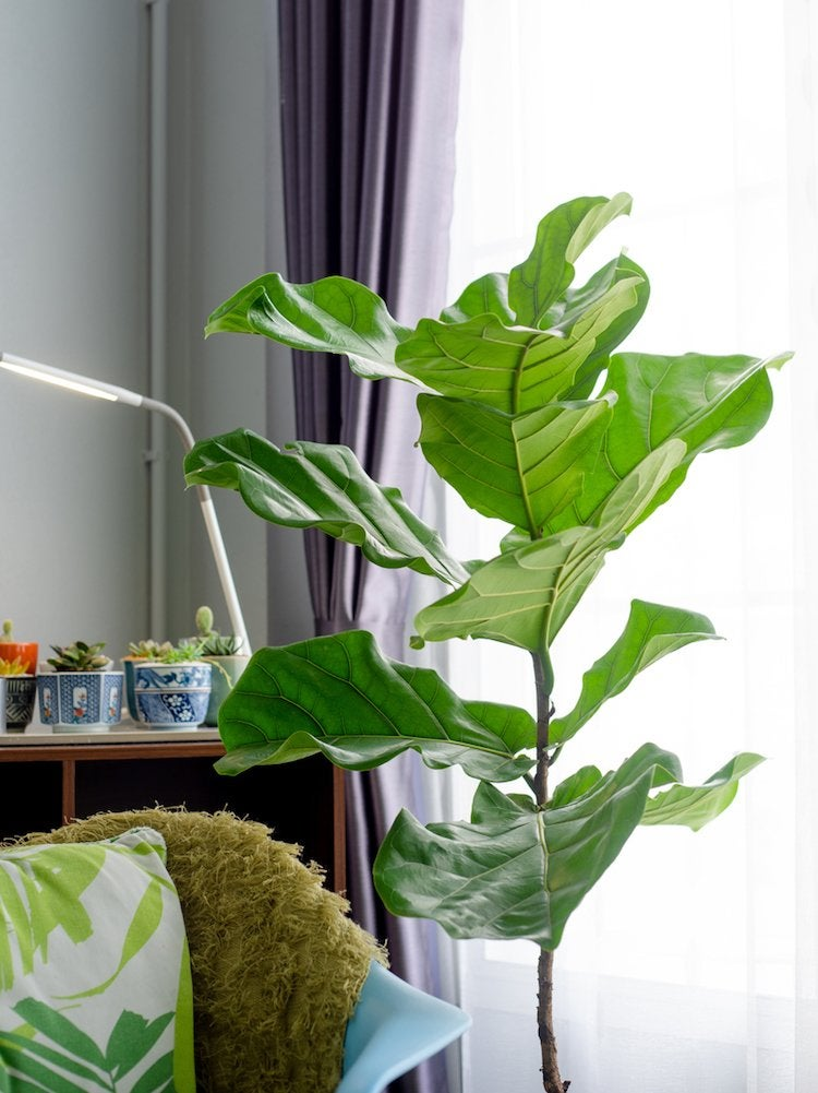 10 Large Houseplants That Make a Statement - Bob Vila on
