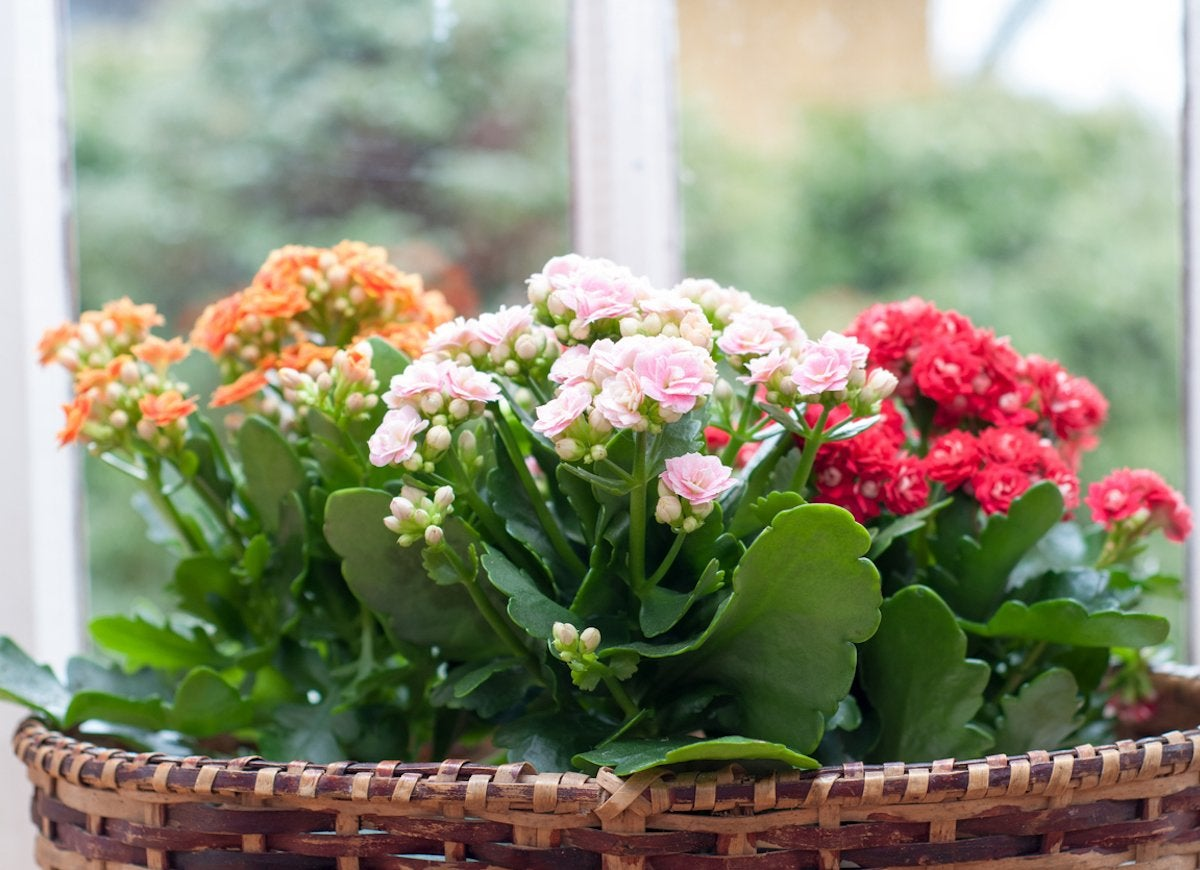 20 Flowering Houseplants That Will Add Beauty to Your Home ... on kalanchoe blossfeldiana care, kalanchoe care indoors, kalanchoe flower,
