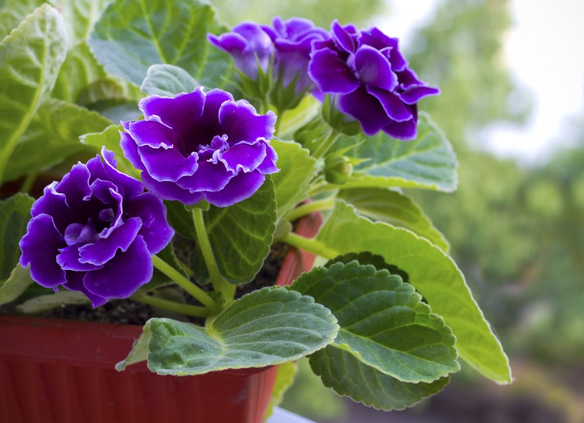 20 Flowering Houseplants That Will Add Beauty To Your Home Bob Vila