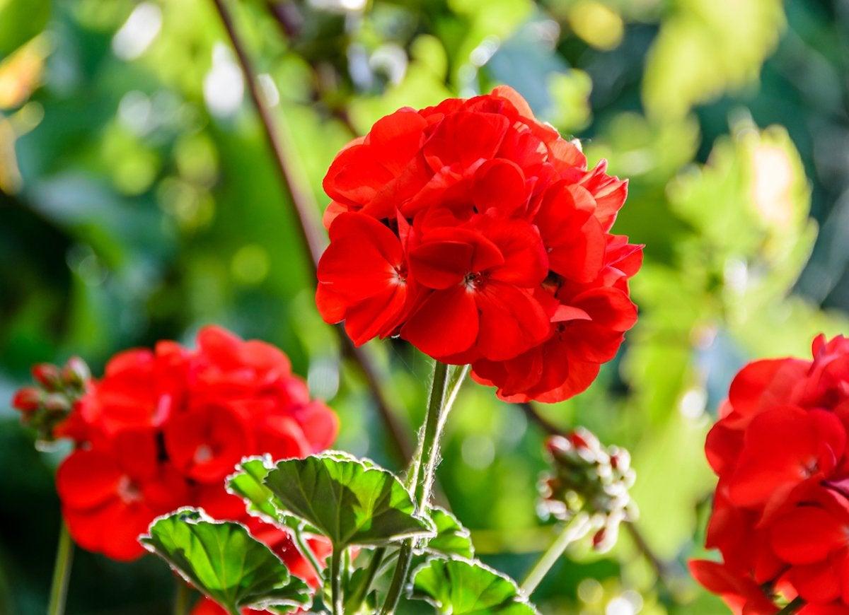 red flowering indoor plants