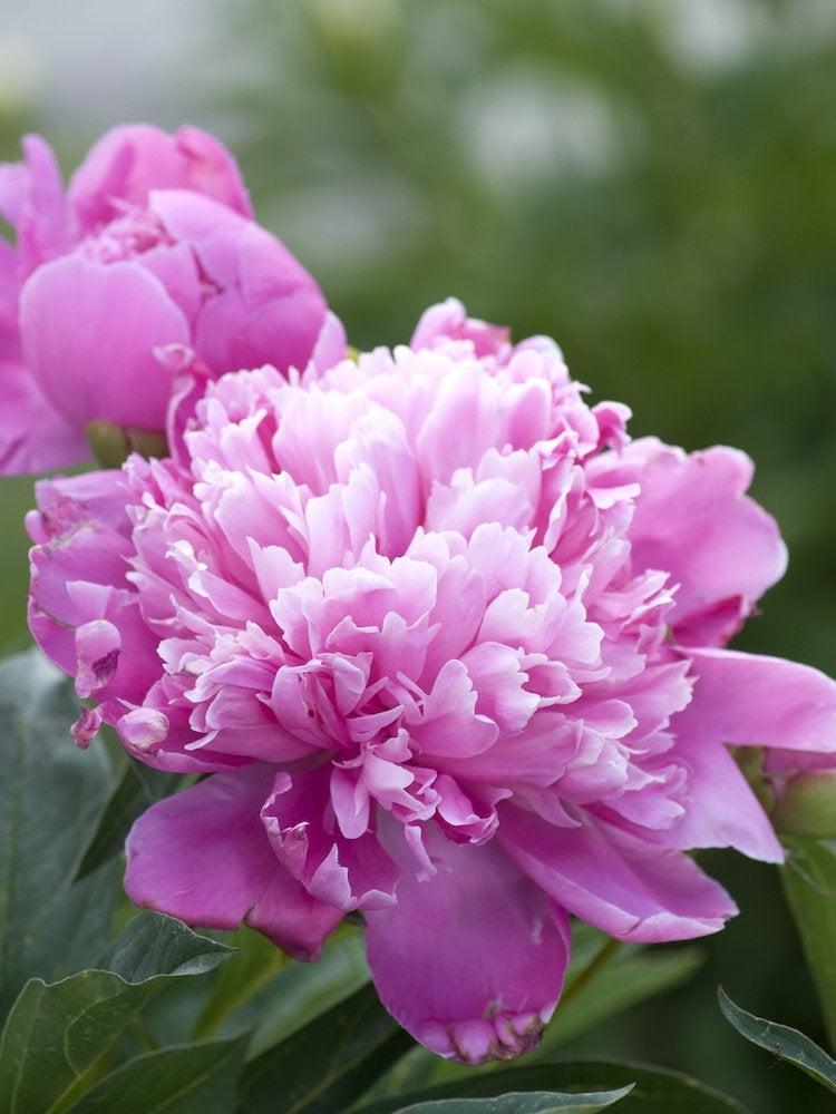 Low Maintenance Plants 30 Easy Options For Your Garden Bob Vila