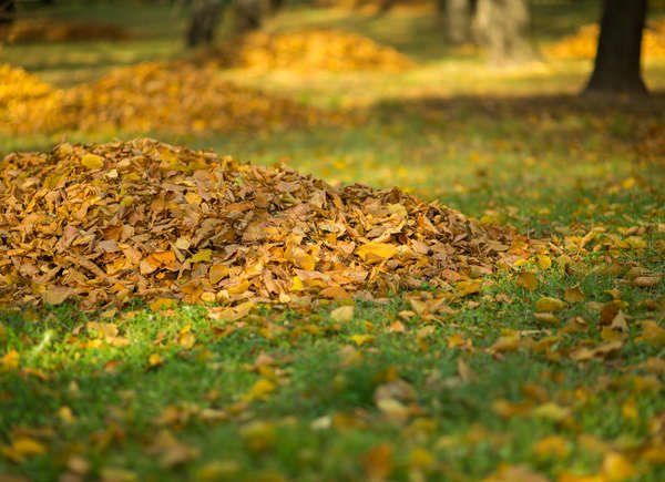 Leaves Should Not Be Left on the Lawn