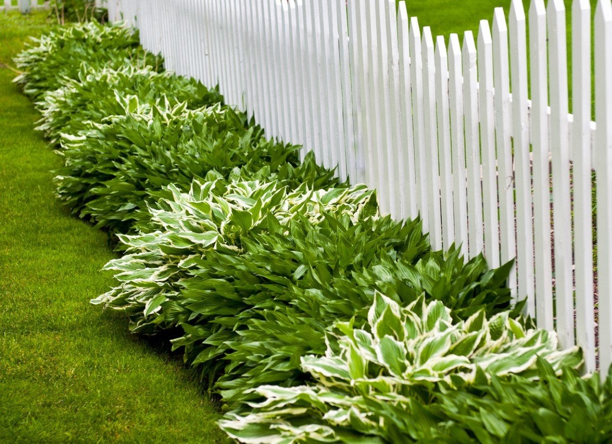 Pin By Tami Deshiell On Fencing Fence Plants Fence Landscaping Evergreen Plants