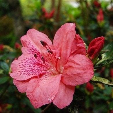 Azalea flower types of flowersorg