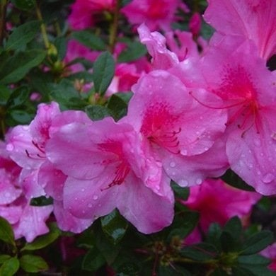 Azalea encore autumn royalty davermfarm