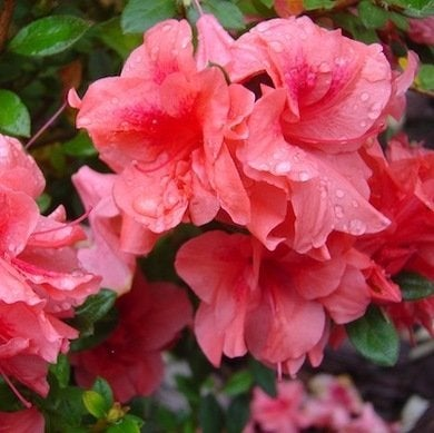 Azalea encore autumn princess davermfarm