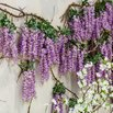 Wisteria Invasive Plants