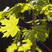 Norway Maple Invasive Plants