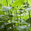 Japanese Knotweed Invasive Plants
