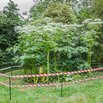 Giant Hogweed Invasive Plants