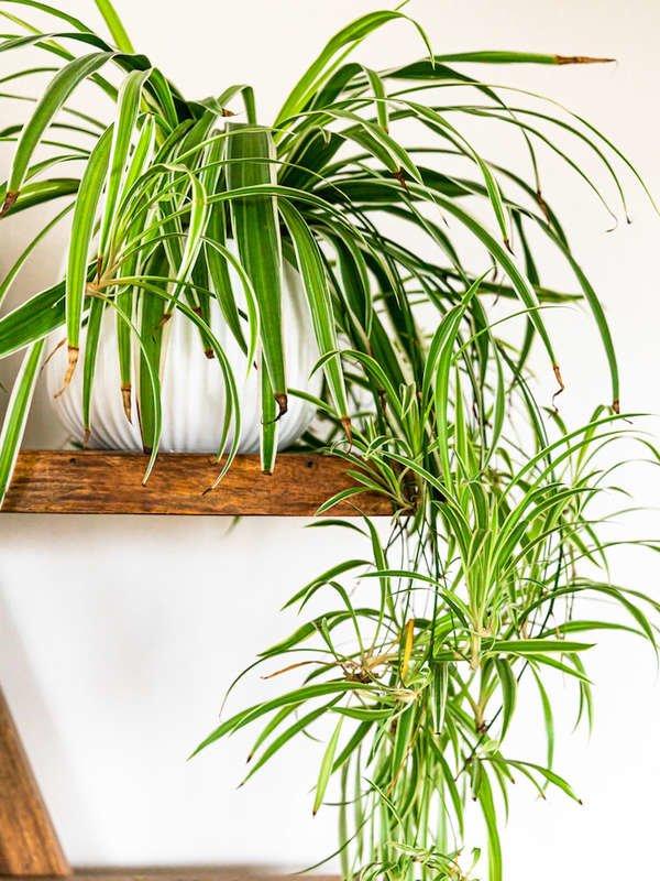 Spider Plant popular houseplant