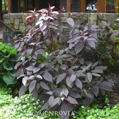 Perennial 8