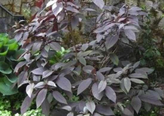 Perennial-8