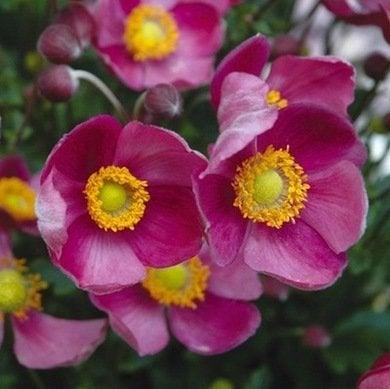 Perennial 2