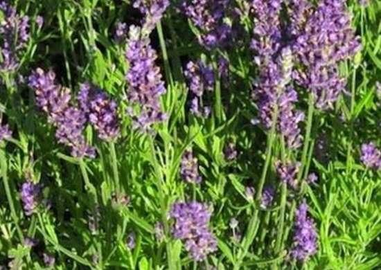 'Superblue' Lavender