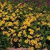 Tuscan Sun Heliopsis