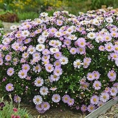 Perennial 3