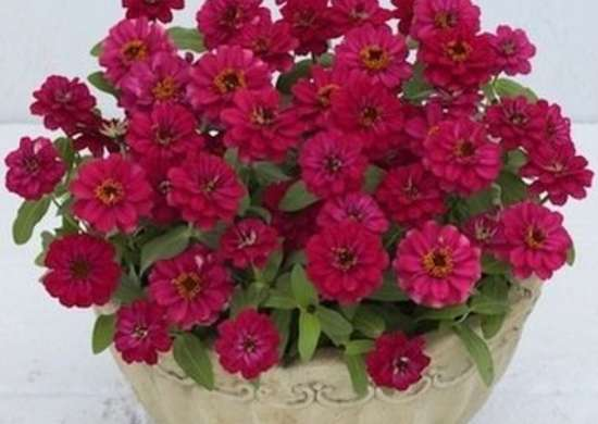 Zinnia Profusion Double Hot Cherry