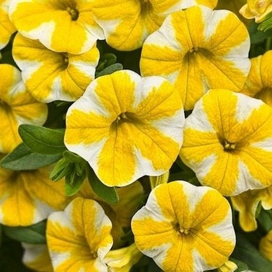 Calibrachoa superbells lemon slice lg