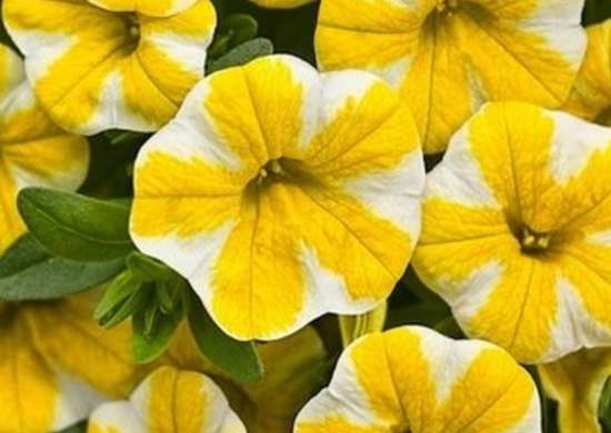 Calibrachoa superbells lemon slice lg