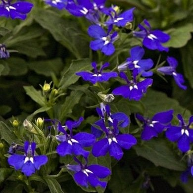 Whiteflowerfarm.com   lobelia