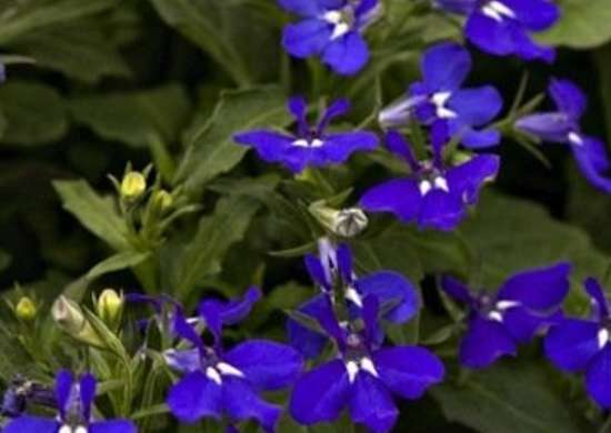 Hot Springs Dark Blue Lobelia