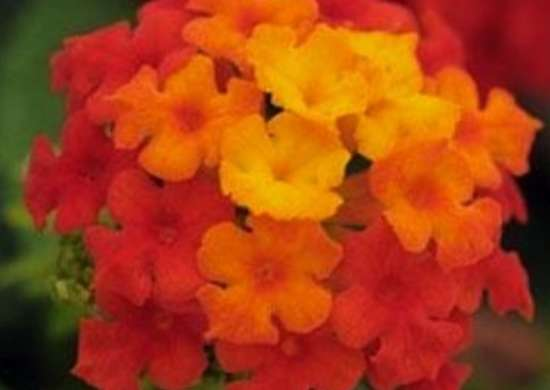 Little Lucky Red Lantana
