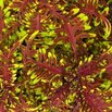 Under the Sea Bone Fish Coleus