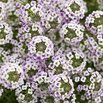 Blushing Princess Alyssum