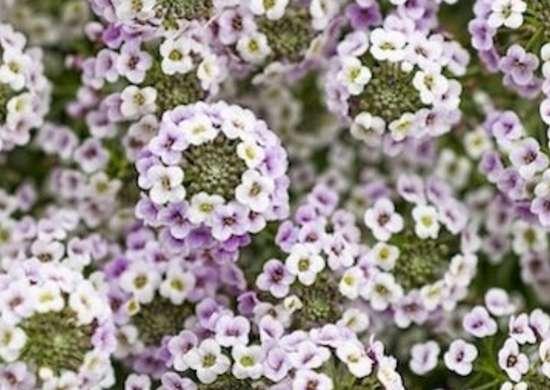Lobuleria blushing princess provenwinners.com