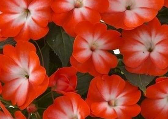 New Guinea Petticoat Orange Star Impatiens