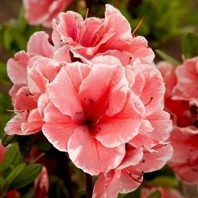 Perennial 1