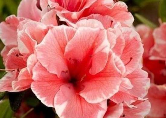 Perennial-1