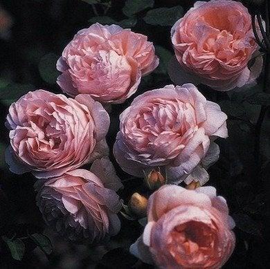 Ambridge rose davidaustin heirloomroses