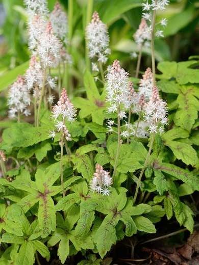 Rhizomatus Shade Plant