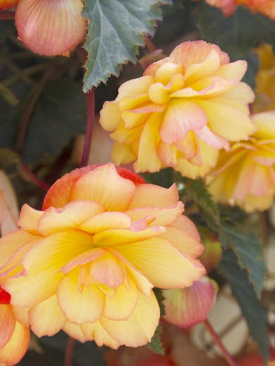 Begonia Plants That Don't Need Sun