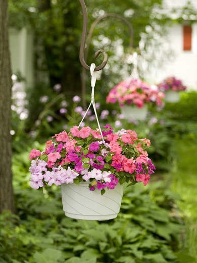 Impatiens Plants for Shade