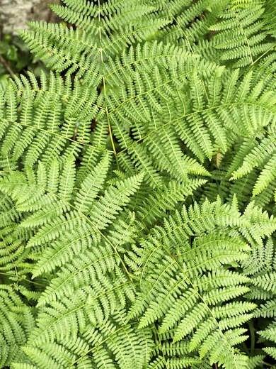 Lady Ferns Shade Plants