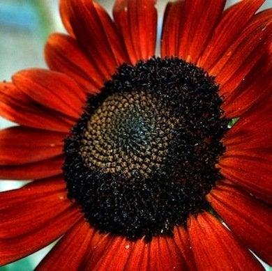 Redsunflower emilyschro