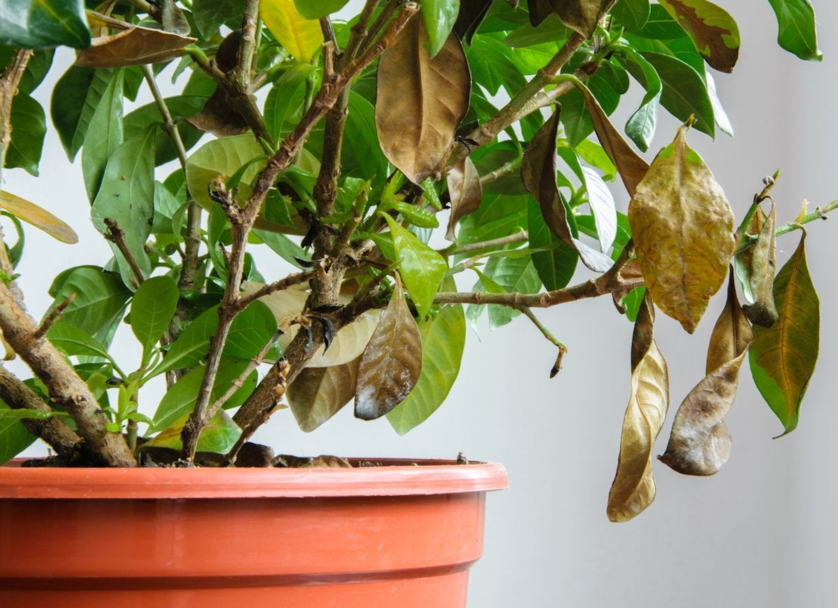 House Plant Yellow Tips on house tropical plants, house place, house pinterest, house painting,