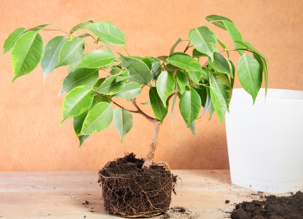 Houseplant Problems - 11 Signs of an Unhappy Indoor Plant ... on air roots on house plants, air plants with flowers, air plant care guide, plants with aerial roots, air plants and their care,