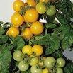 Little Sun Yellow Tomato